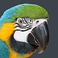Blue And Gold Macaw Digital Freehand Painting by Ernie Echols