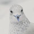 Blue Beak by Karol Livote