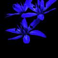 Blue Bells by Cliff Norton