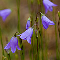 Blue Bells Wyoming by Rich Franco