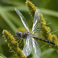 Blue Dasher Dragonfly-female by Neil Doren