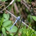 Blue Dragon Fly  by Katrina Johns