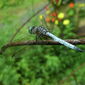 Blue Dragonfly by Mother Nature