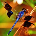 Blue Dragonfly by Randy Aveille