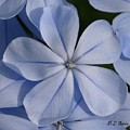 Blue Flower by Dennis Stein