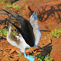 Blue-footed Boobie Display by Tony Beck