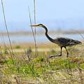 Blue Heron by Dennis Hammer