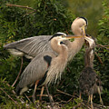 Blue Heron Family by Shari Jardina