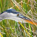 Blue Heron Hunting by Rosalie Scanlon