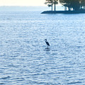 Blue Heron On The Chesapeake by Bill Cannon