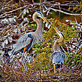 Blue Herons by Dennis Goodman