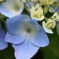 Blue Hydrangea by Annie Babineau