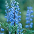 Blue Lupine In The Tetons  by Sandra Bronstein