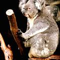 Blue Mountains Koala by Darren Stein