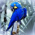 Blue Parrot by Roger Wedegis