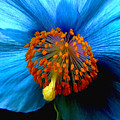 Blue Poppy II - Closeup by Robert Nankervis