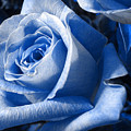 Blue Rose by Shelley Jones