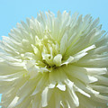Blue Sky Art White Dahlia Flower Floral Prints Baslee Troutman by Baslee Troutman