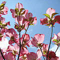 Blue Sky Landscape White Clouds Art Prints Pink Dogwood Flowers Baslee Troutman by Baslee Troutman
