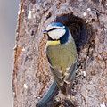 Blue Tit Leaving Nest by Cliff Norton