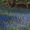 Bluebells by Chris Lord