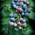 Blueberry Cluster by Kim Henderson