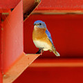 Bluebird On Red by Robert Frederick