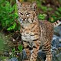 Bobcat by Carl Jackson