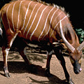 Bongo In Kenya by Carl Purcell