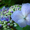 Botanical Garden Blue Hydrangea Flowers Baslee Troutman by Baslee Troutman