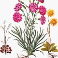 Botany: Flowers, 1613 by Granger