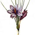 Botany: Saffron by Granger