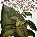 Botany: Tobacco Plant by Granger