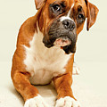 Boxer Dog On Ivory Backdrop by Danny Beattie Photography