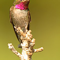 Broad-tailed Hummingbird Sitting Boldly On Perch by Max Allen