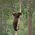 Brown Bear Ursus Arctos Cub Climbing by Konrad Wothe
