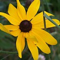 Brown Eyed Susan by Donna  Davis