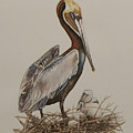 Brown Pelican And Chicks by Laurie Tietjen