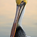 Brown Pelican Portrait by Georgia Nick