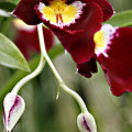 Buds And Blooms Orchid by Marilyn Hunt
