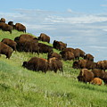 Buffalo Herd by Ernie Echols