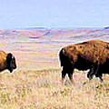 Buffalo Range In Kansas by Cheryl Poland