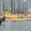 Bull And Cow Moose In East Rosebud Lake Montana by Gary Beeler