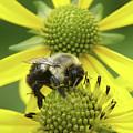 Bumblebee by Tina B Hamilton