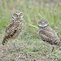 Burrowing Owls Nesting by Keith Lovejoy