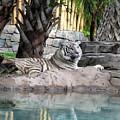 Busch Tiger by Wayne Skeen