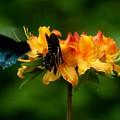 Butterflies On Yellow Azalea by Bob Guthridge