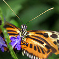 Butterfly 2 Eucides Isabella by Heather Coen