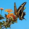 Butterfly IIi by Susan Heller