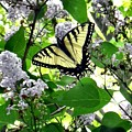 Butterfly In The Lilac No. 1 by T Cook